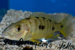 Exochromis Anagenys cichlid Fotografia Stock