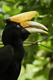 Sydlig Pied Hornbill Arkivbild