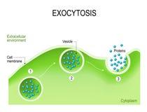 Exocytosis Stock Photography