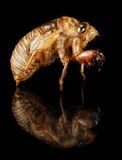 Exoskeleton annual cicada insect Royalty Free Stock Photography