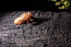 Exoskeleton of a Cicada - Pomponia imperatoria. An empty pupae shell of an Asian cicada on the tree Stock Photography