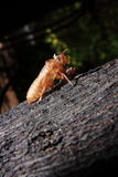 Exoskeleton of a Cicada - Pomponia imperatoria. An empty pupae shell of an Asian cicada on the tree Royalty Free Stock Photo