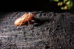Exoskeleton einer Zikade - Pomponia imperatoria Stockfotografie