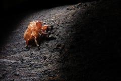 Exoskeleton einer Zikade - Pomponia imperatoria Lizenzfreie Stockfotos