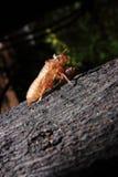 Exoskeleton einer Zikade - Pomponia imperatoria Lizenzfreies Stockfoto