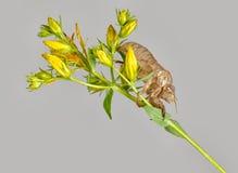 Exosquelette de cigale entomologie images libres de droits