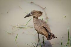 Exotic African Hamerkop bird feeding in brown water of National Park waterhole stock images