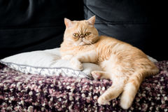 Exotic american shorthair cat. Funny ginger exotic shorthair persian cat sitting on a pillow. Closeup view Royalty Free Stock Image
