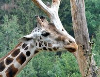 Exotic animals - Giraffe Royalty Free Stock Image