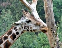 Exotic animals - Giraffe. Detailed view of exotic animals - giraffes royalty free stock image
