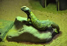 Exotic animals - lizards. Detail view exotic animals - lizards royalty free stock photos
