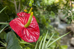 Exotic Anthurium flower Stock Photos