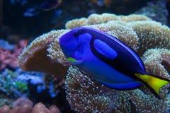 Exotic aquarium fish stock image