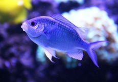 Exotic aquarium fish Royalty Free Stock Image