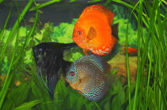 Exotic aquarium fish - discus and scalare Stock Photography