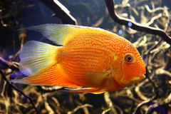 Exotic aquarium fish Stock Images