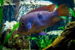 Exotic aquarium fish. Stock Photos