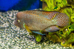 Exotic aquarium fish. Royalty Free Stock Image