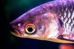 Exotic aquarium fish. Stock Photography