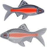 Exotic aquarium fish. Stock Images