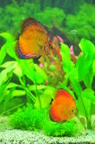 Exotic aquarium with tropical discus fish Stock Photo