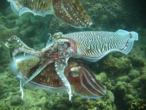 Exotic aquatic sea life. Exotic marine life swimming underwater near a coral reef royalty free stock photography