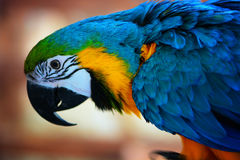 Exotic Ara parrot. Colorful Ara parrot`s close portrait Royalty Free Stock Photo