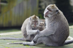 Exotic asian animals. Cute monkeys family. Wildlife Bali, Indone Royalty Free Stock Photos