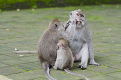 Exotic asian animals. Cute monkeys family. Wildlife Bali, Indone Royalty Free Stock Images