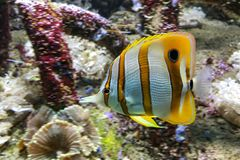 'Beaked Coralfish' the yellow tang Royalty Free Stock Image