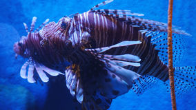 Exotic beautiful lionfish swims in blue water. Underwater Scene Royalty Free Stock Images