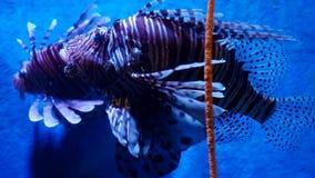Exotic beautiful lionfish swims in blue water. Underwater Scene. 3840x2160, 4k. Beautiful exotic see fish in an aquarium stock video