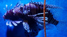 Exotic beautiful lionfish swims in blue water. Underwater Scene. 3840x2160, 4k stock video