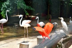 Exotic and Beautiful Pink flamingos and a scarlet nice bird from  southamerica. Exotic and Beautiful Pink flamingos and a nice scarlet bird from southamerica stock photo