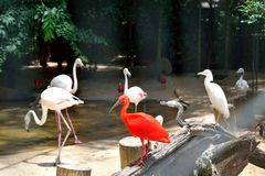 Exotic and Beautiful Pink flamingos and a scarlet nice bird from  southamerica. Exotic and Beautiful Pink flamingos and a nice scarlet bird from southamerica royalty free stock image