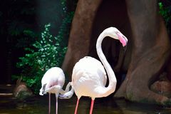 Exotic and Beautiful Pink flamingos from  southamerica. Exotic and Beautiful Pink flamingos from southamerica royalty free stock photos