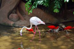 Exotic and Beautiful Pink flamingos and two red birds from  southamerica. Exotic and Beautiful Pink flamingos and two nice red birds from southamerica royalty free stock photos