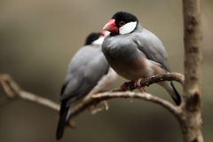 Exotic Beauty. Closeup of two Java Sparrows perching on a branch with selective focus on front bird Royalty Free Stock Photos