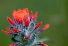 Exotic beauty of a scarlet Indian paintbrush flower royalty free stock photo