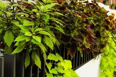Exotic Begonia rex fan shaped leaves with luminous orange underside royalty free stock images