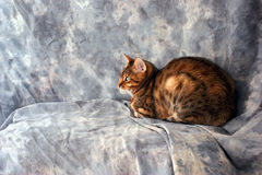 Exotic bengal cat Stock Image