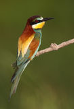 Exotic bird. Beautiful European Bee-eater bird sitting Stock Photography