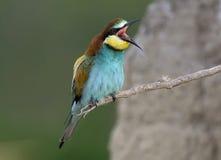 Exotic bird. Funny colourful exotic bird screaming Stock Photos