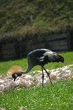 Exotic bird. With nice hair on the top of the head walking in the grass royalty free stock images