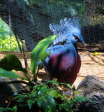 Exotic Bird. This red-eyed, blue bird is an exotic exhibit from one of the many San Diego Zoo aviaries Royalty Free Stock Photos