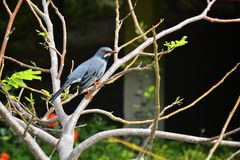 Exotic bird. Blueish grey exotic bird with orange beak eyes and feet standing on a tree branch Stock Photos