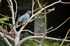 Exotic bird. Blueish grey exotic bird with orange beak eyes and feet standing on a tree branch Royalty Free Stock Photo