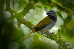 Exotic bird. Buff-throated Saltator, Saltator maximus, sitting on the branch in the green forest. Tropic tanager in the nature hab Stock Photography