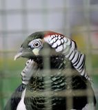 Exotic Bird In Cage Stock Photos