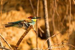 Exotic bird European bee-eater or Merops apiaster stock images